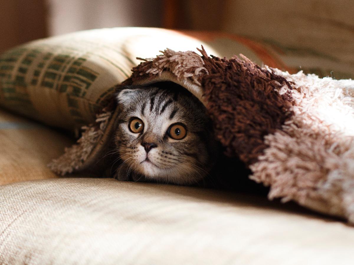 Chat drôle sous une couverture