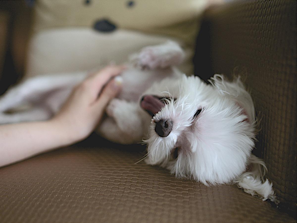 Petit chien blanc sur le dos