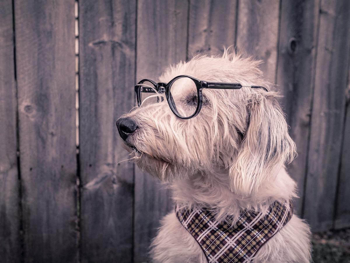 Chien blanc avec des lunettes