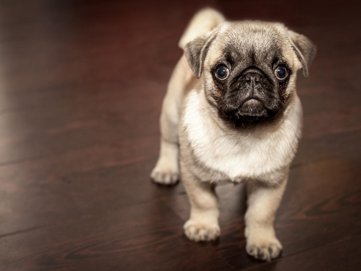 Petit chien trop mignon sur un parquet