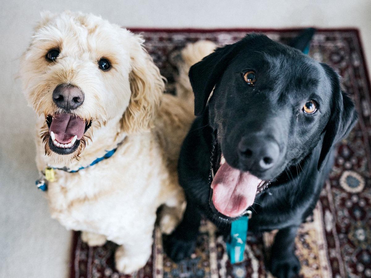 Deux chiens assis sur un tapis