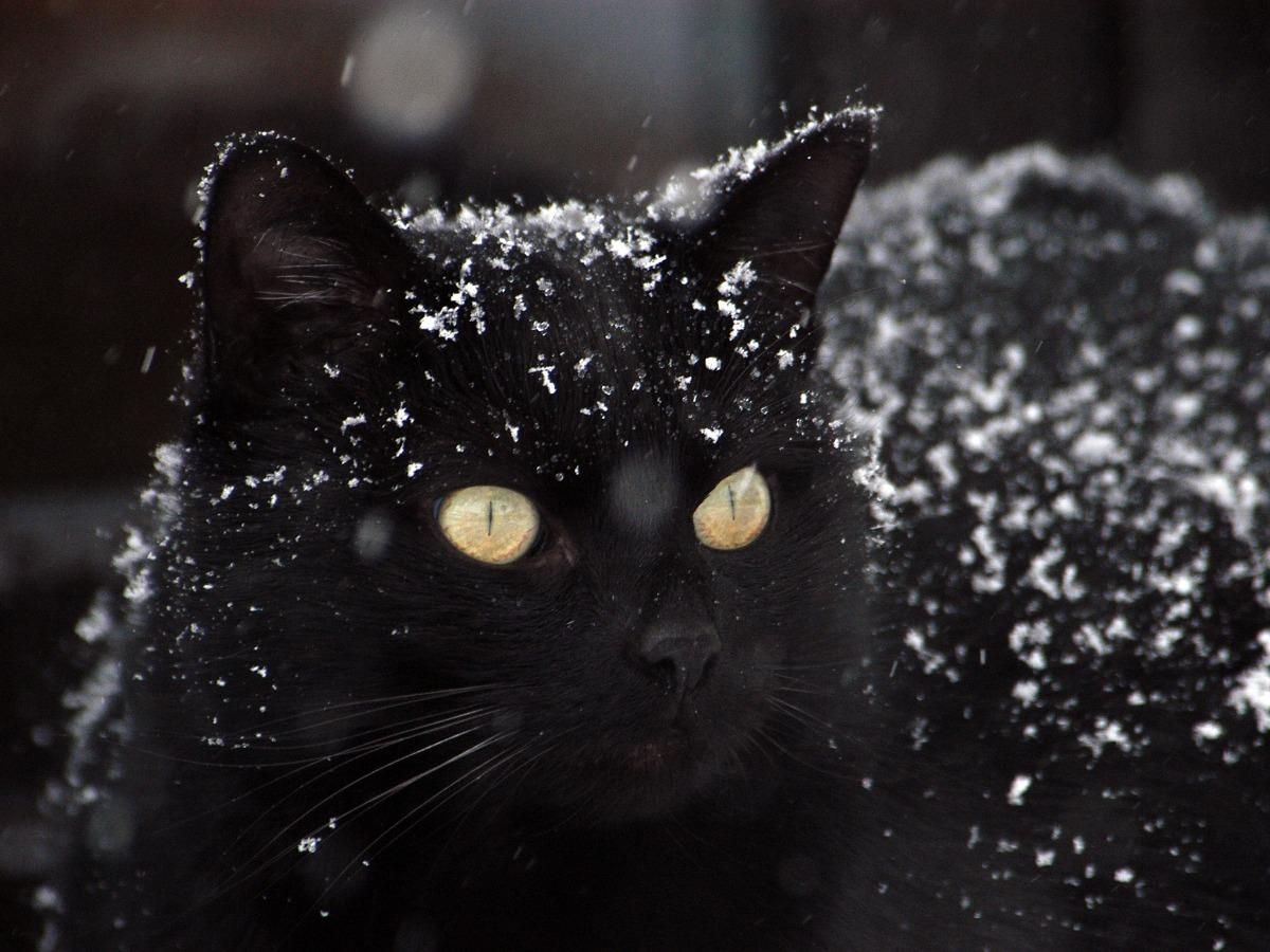 Chat noir sous la neige