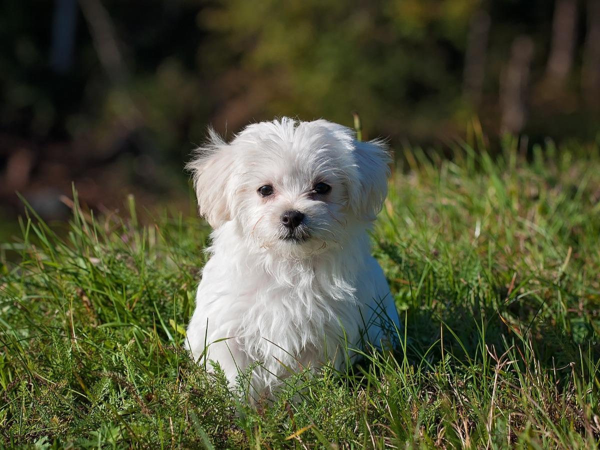 Petit chien blanc assis dans l'herbe
