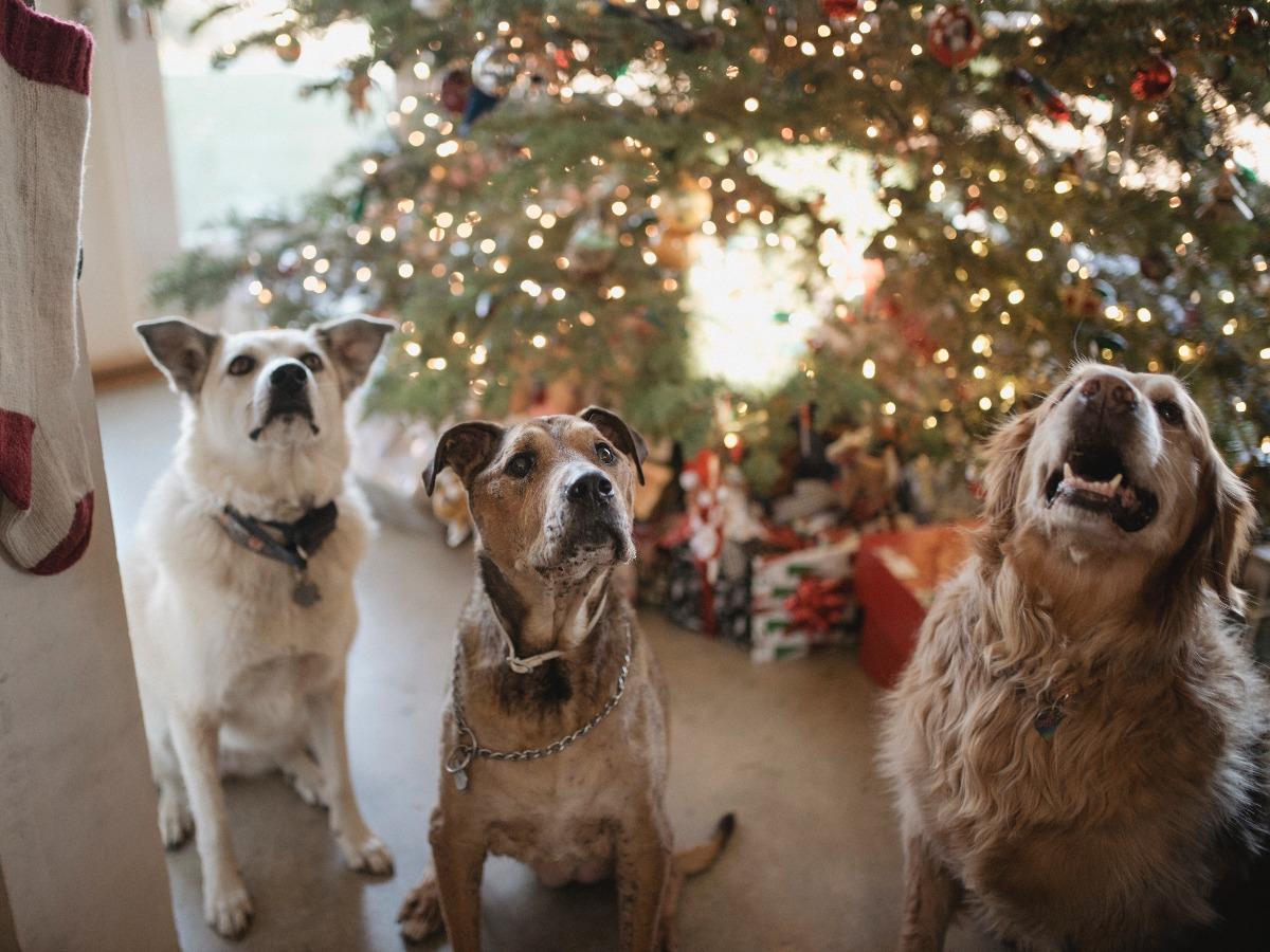 Trois chiens devant un sapin de noël