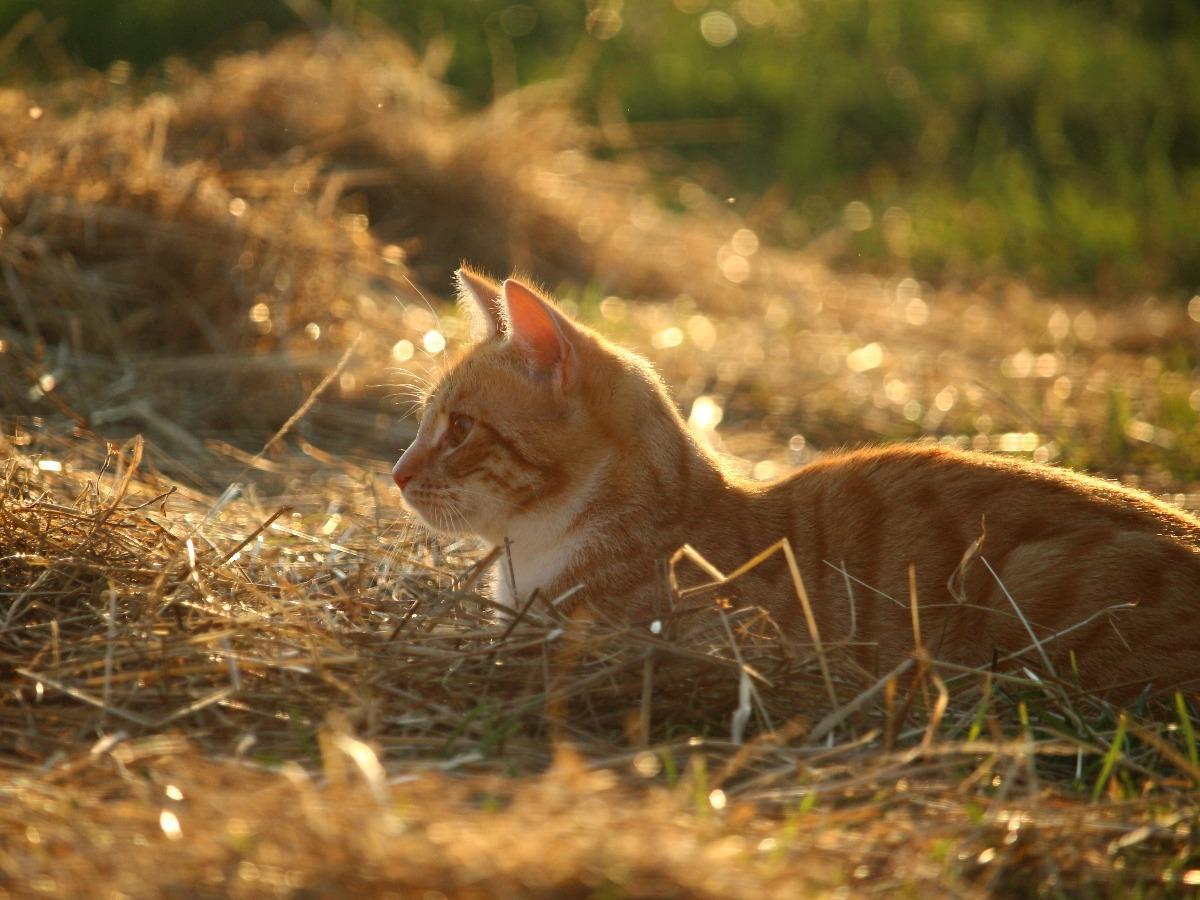 Chat couché dans un champ