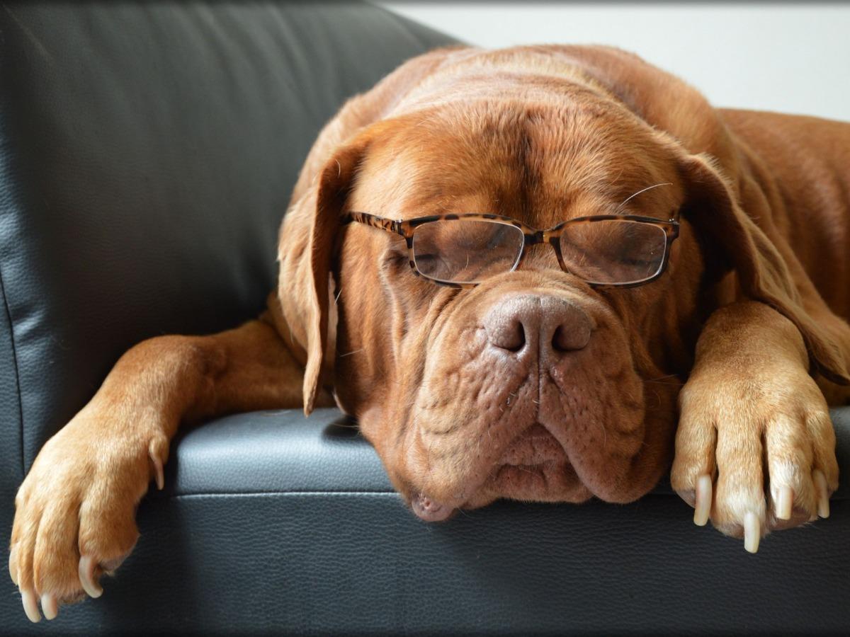 Vieux chien endormi avec des lunettes