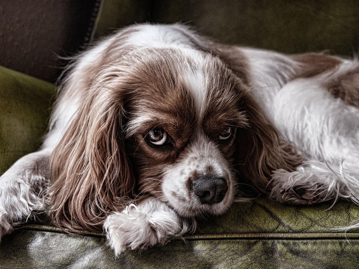 Chien de face couché sur un canapé
