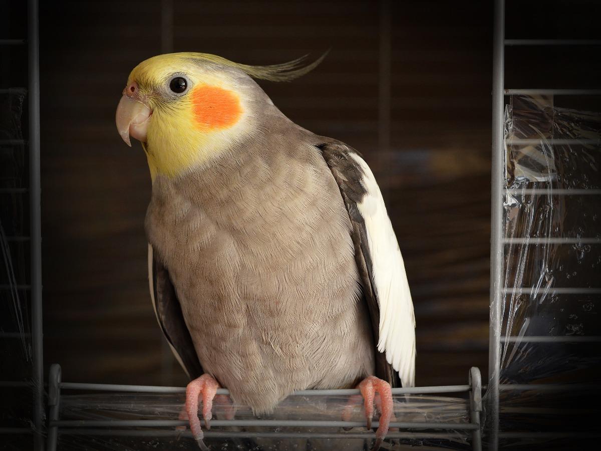 Oiseau gris et jaune