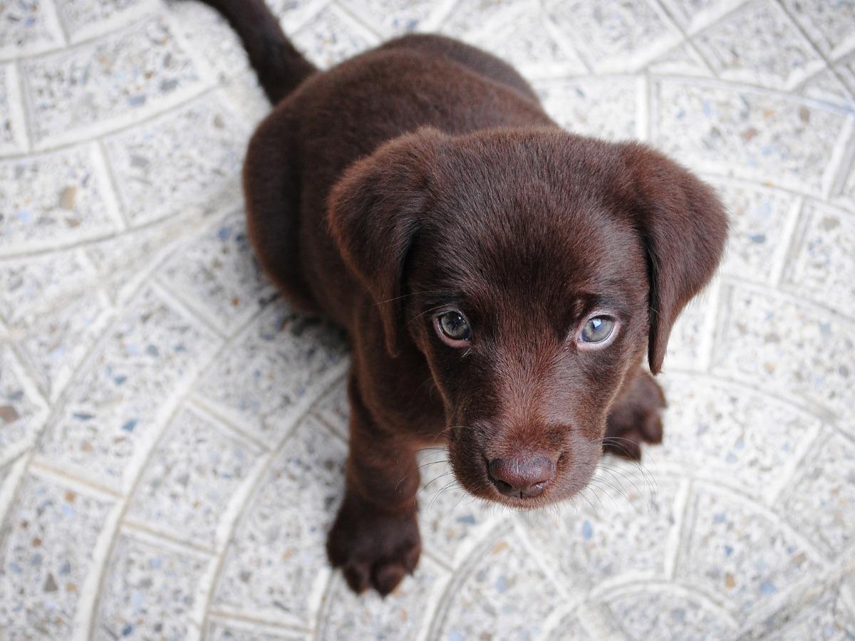 Petit chien marron mignon