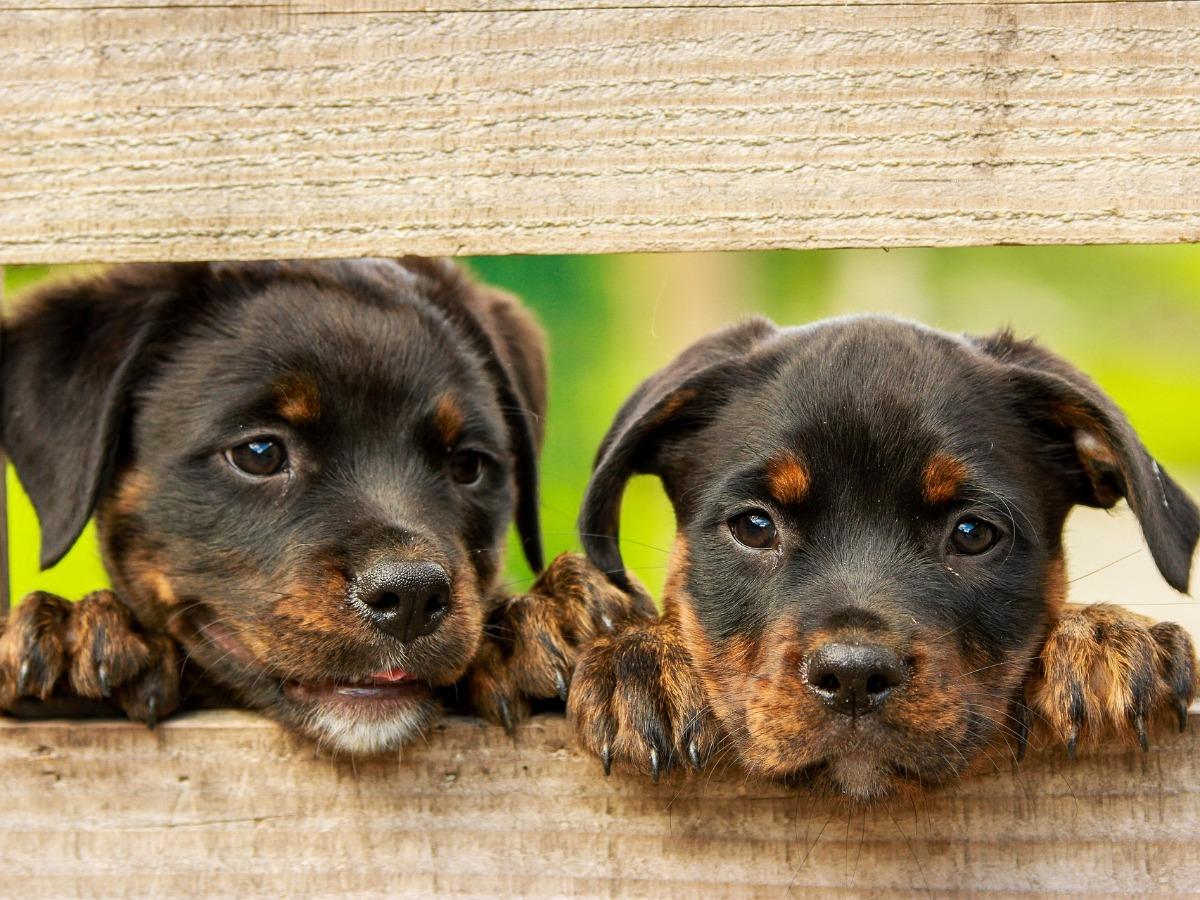 Deux petits chiens de face