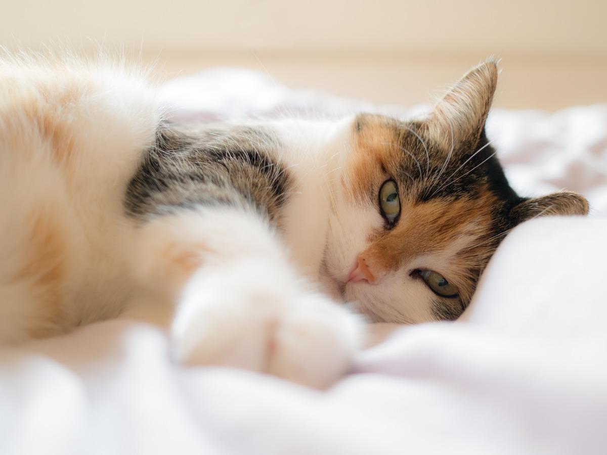 Chat dormant sur un drap blanc