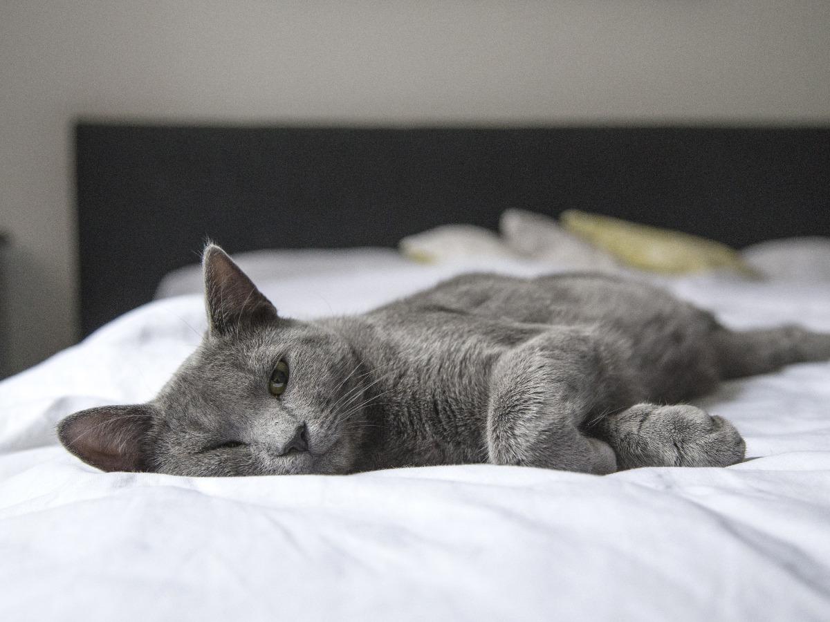 Chat gris qui dort sur un lit