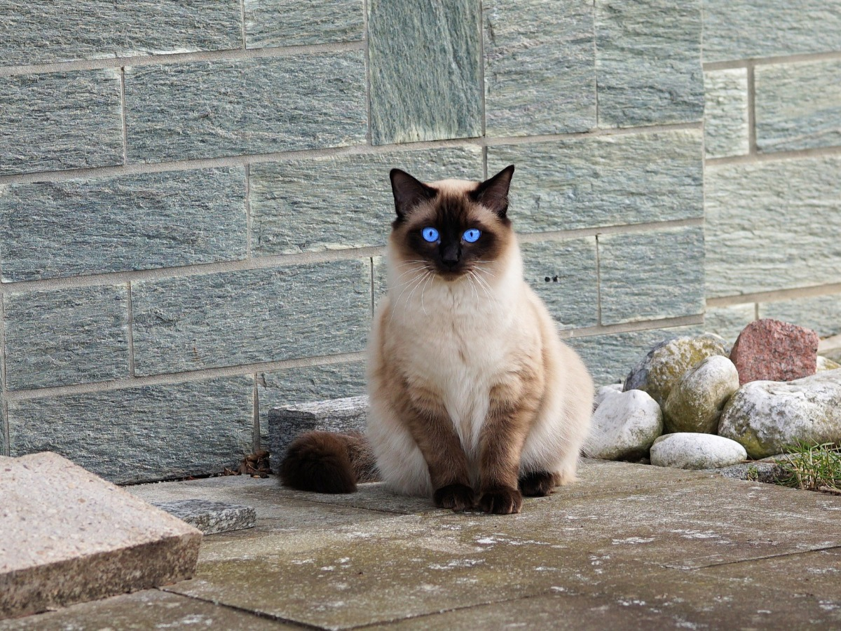 Beau siamois avec des yeux bleus