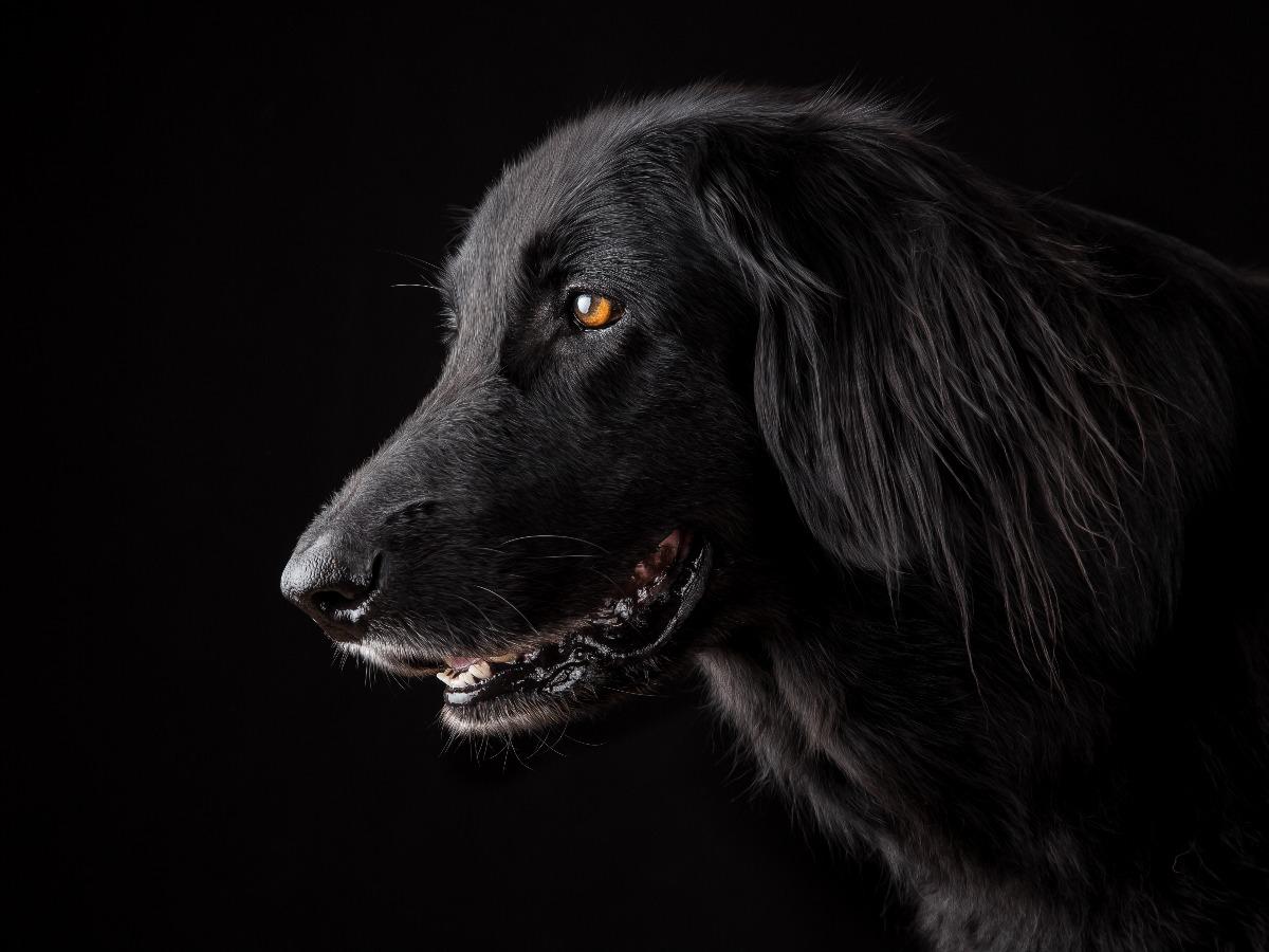 Beau chien noir de profil