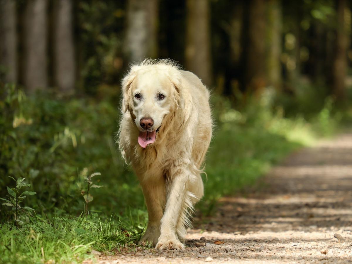 Chien se promenant dans les bois