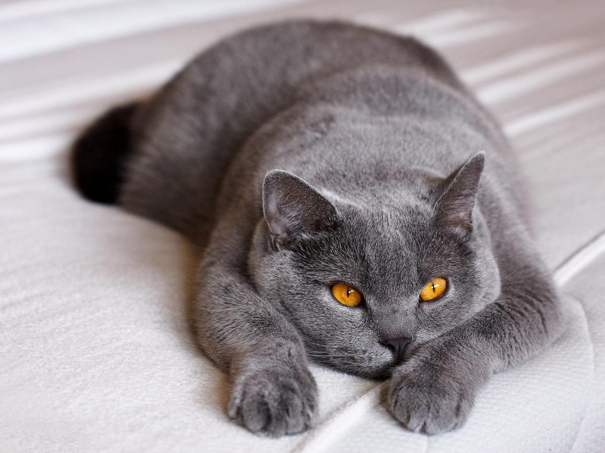 Gros chat dormant sur un lit
