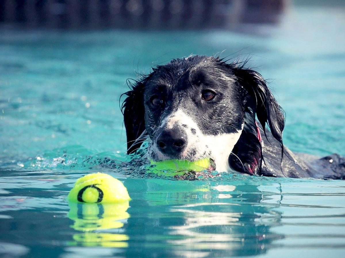Chien nageant et jouant dans une piscine