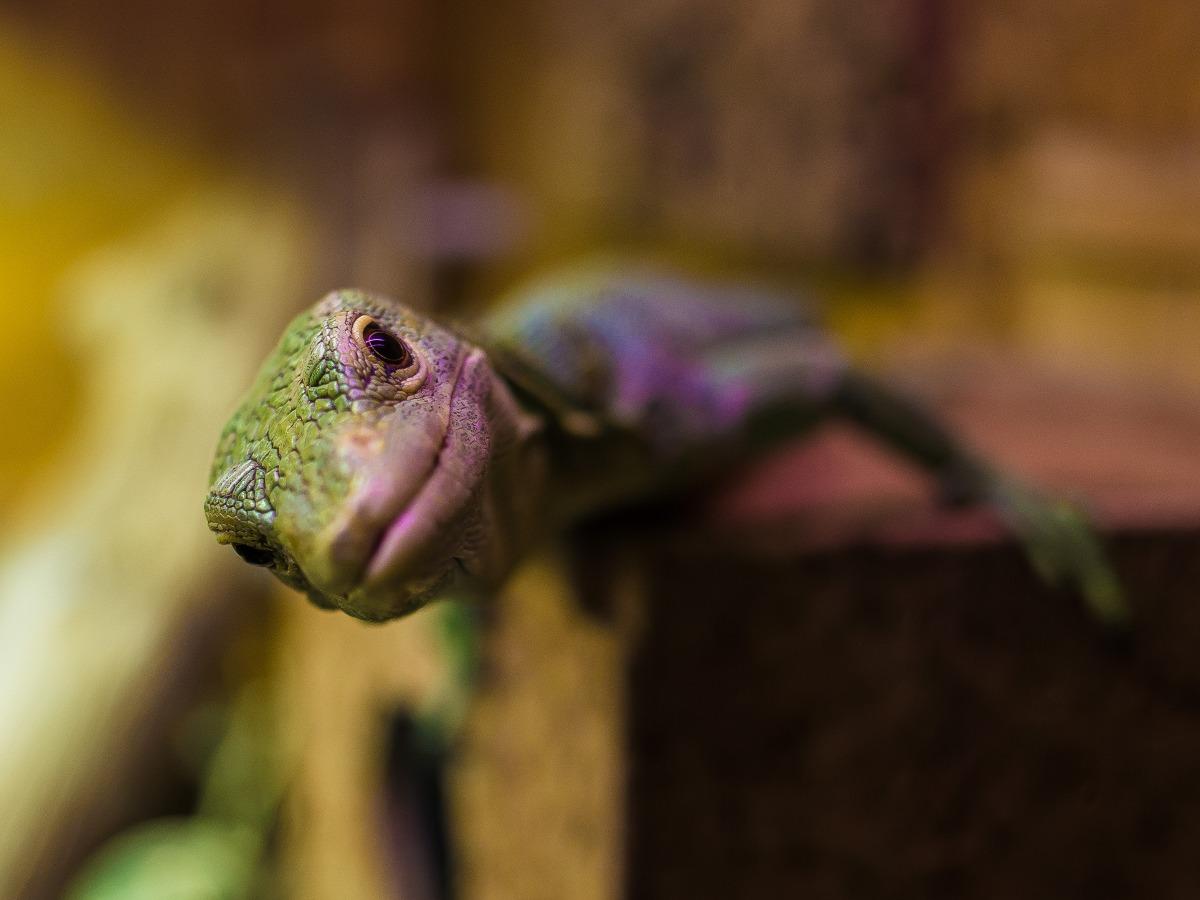 Petit reptile de face