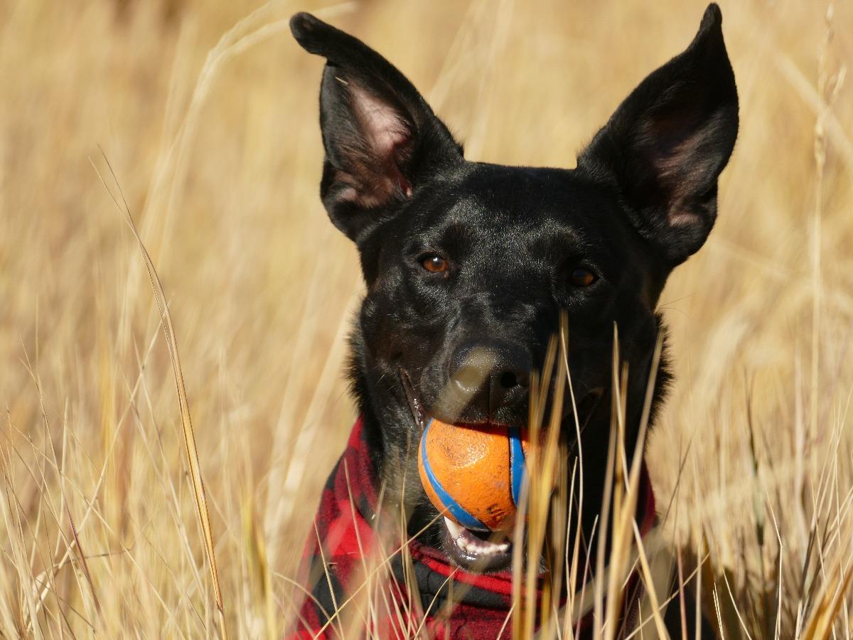 Chien noir avec une balle orange