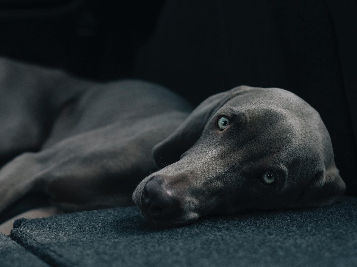 Beau chien marron allongé
